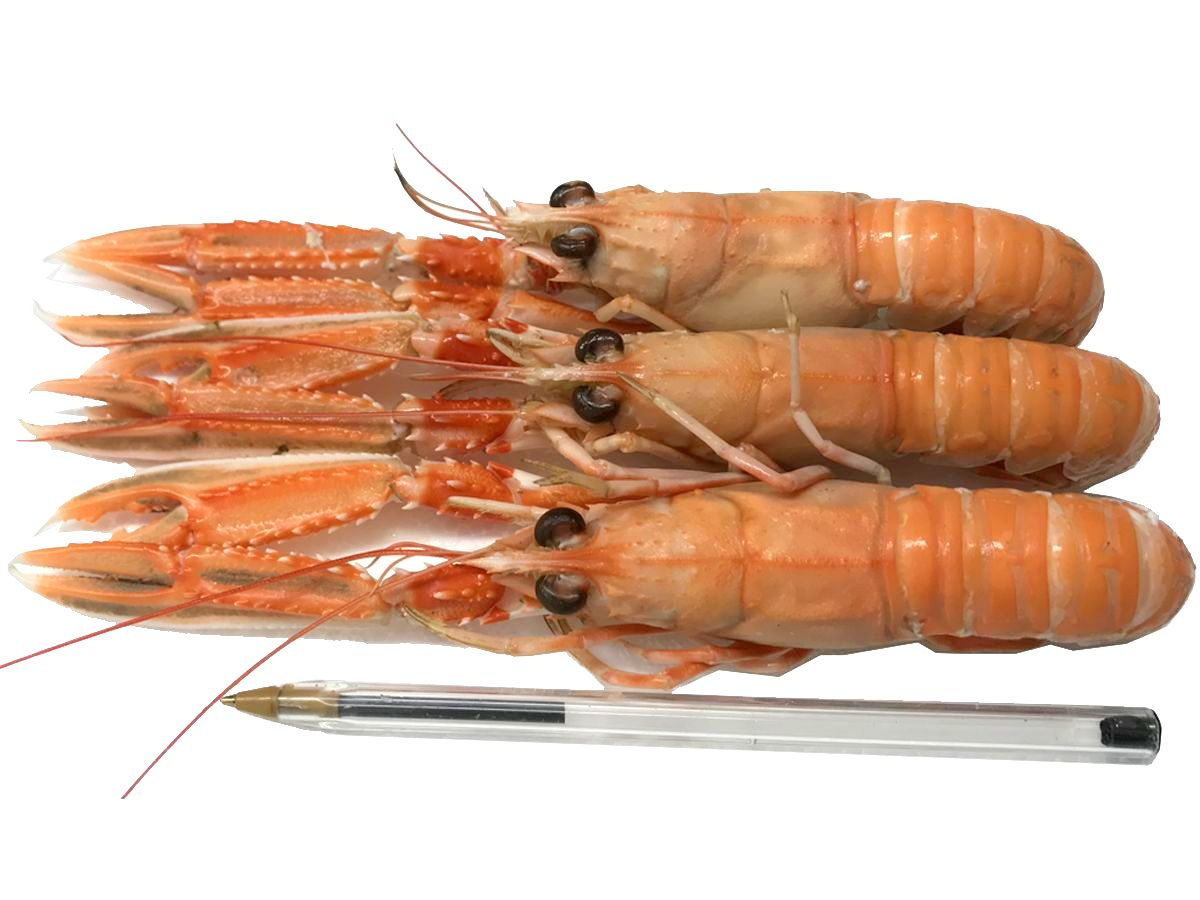 Cooked Hebridean Langoustine - 1kg N2 - Medium +pen