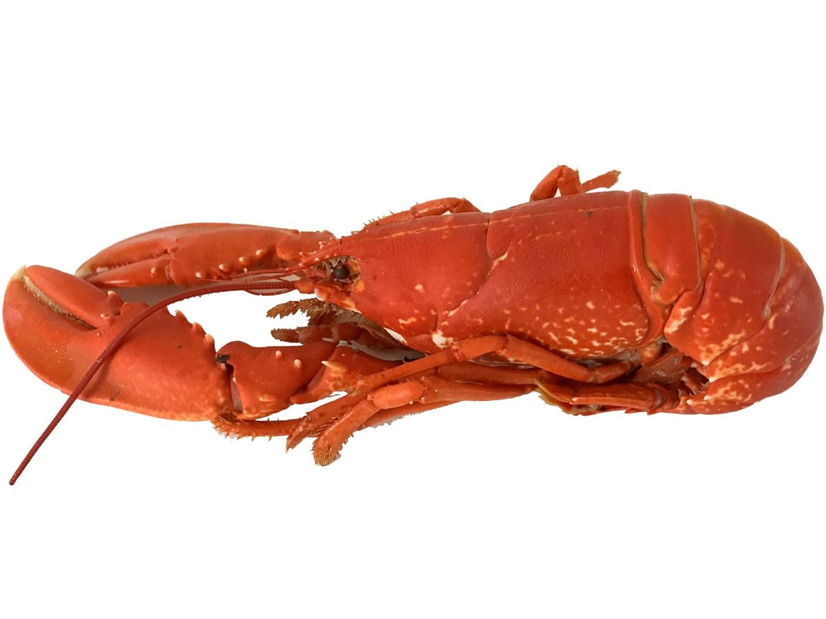 Hebridean Cooked Lobster - Small 600-800g